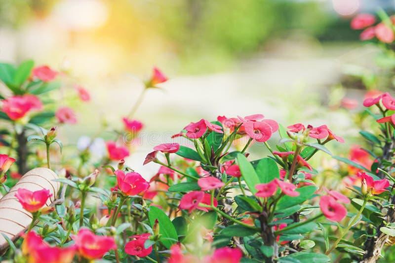 La couronne des épines rouge de floraison fleurissent dans le jardin photos libres de droits