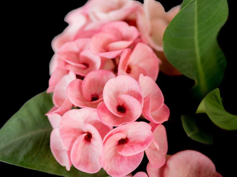 La couronne rose des throns fleurit, milli d'euphorbe, avec les feuilles vertes images libres de droits