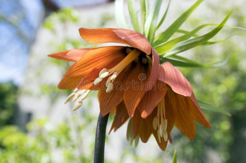 La couronne rouge de Kaisers en fleur, imperialis de Fritillaria font du jardinage au printemps images libres de droits