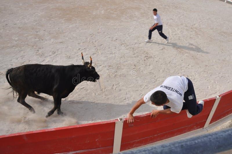 La Course Camarguaise. Bloodless bullfight at Les Saites Maries de la Mer, Camargue, France royalty free stock image