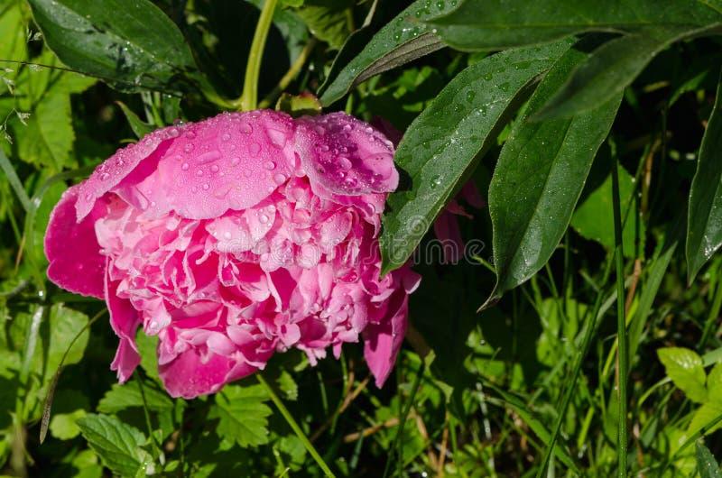 La couverture rouge couverte de rosée de fleur de fleur de pivoine avec de l'eau chute photographie stock