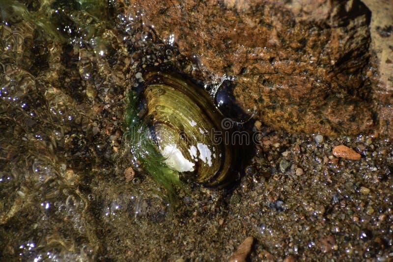 La cozza &#x28 dell'anatra; anodonta anatina) mette sul fondo della riva &#x28 del Mar Baltico; it' sconosciuto di s come e  fotografia stock libera da diritti