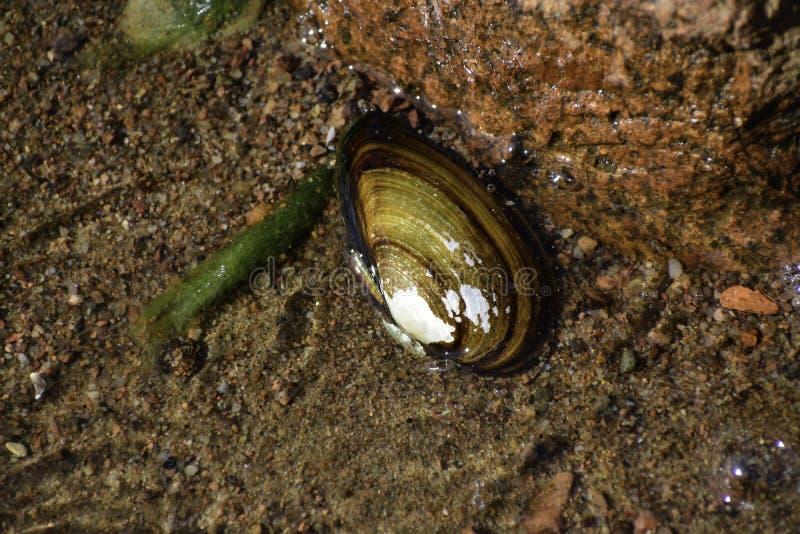 La cozza &#x28 dell'anatra; anodonta anatina) mette sul fondo della riva &#x28 del Mar Baltico; it' sconosciuto di s come e  fotografie stock libere da diritti
