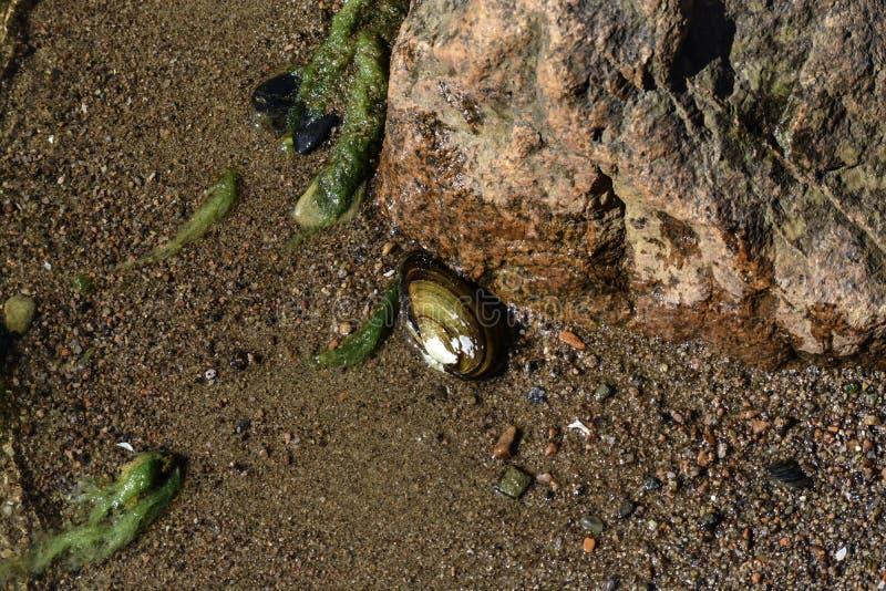 La cozza &#x28 dell'anatra; anodonta anatina) mette sul fondo della riva &#x28 del Mar Baltico; it' sconosciuto di s come e  immagini stock libere da diritti