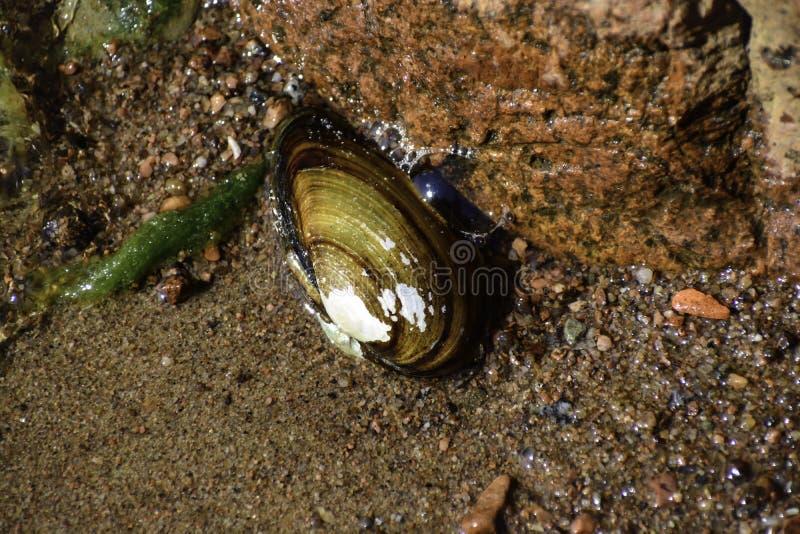 La cozza dell'anatra & il x28; anatina& x29 del anodonta; mette sul fondo della riva del Mar Baltico & del x28; it& x27; sconosci immagini stock libere da diritti