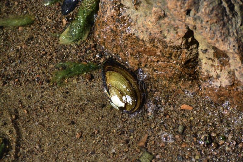 La cozza dell'anatra & il x28; anatina& x29 del anodonta; mette sul fondo della riva del Mar Baltico & del x28; it& x27; sconosci fotografia stock