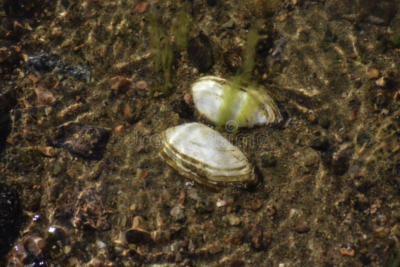 La cozza morta &#x28 dell'anatra; anodonta anatina) mette sul fondo della riva &#x28 del Mar Baltico; it' sconosciuto di s c fotografia stock libera da diritti