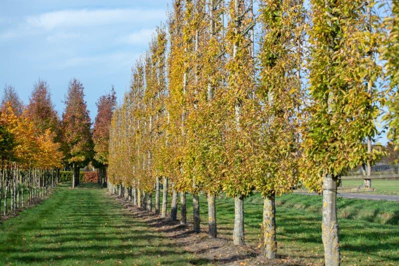 La crèche néerlandaise de l'exclusivité a formé les arbres décoratifs espaliered, p images libres de droits