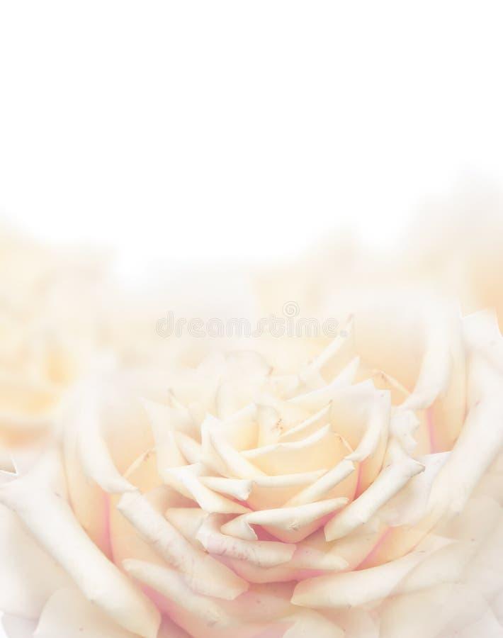 La crème s'est levée sur le fond blanc, fin  photographie stock