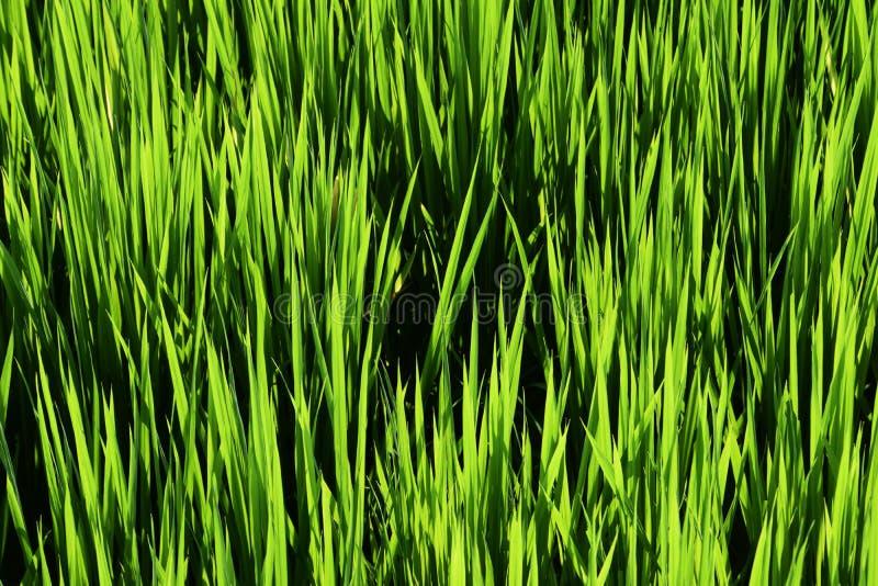 La crescita della pianta di riso fotografie stock