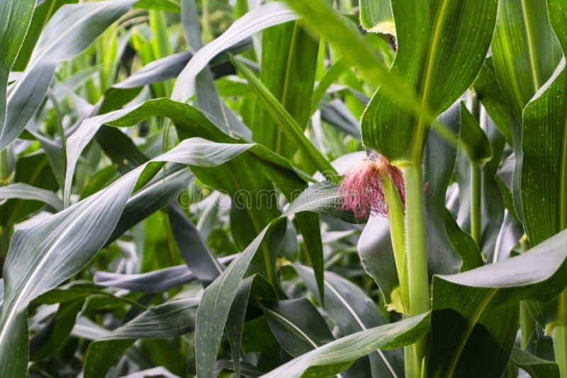 La croissance des stamens de maïs images libres de droits