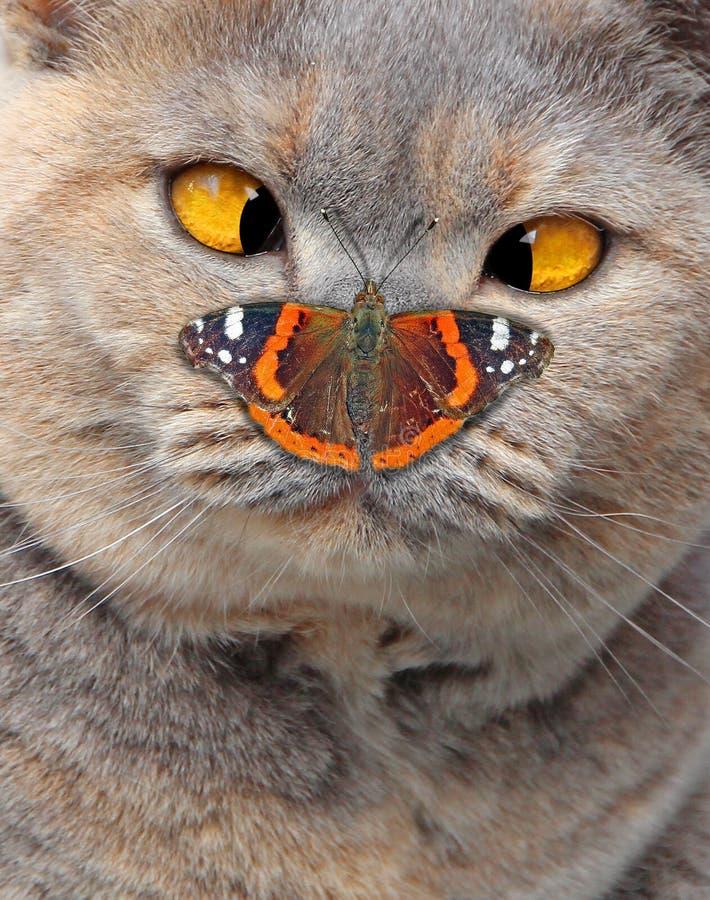 La croix a observé le chat de pure race regardant le papillon sur le nez photos libres de droits