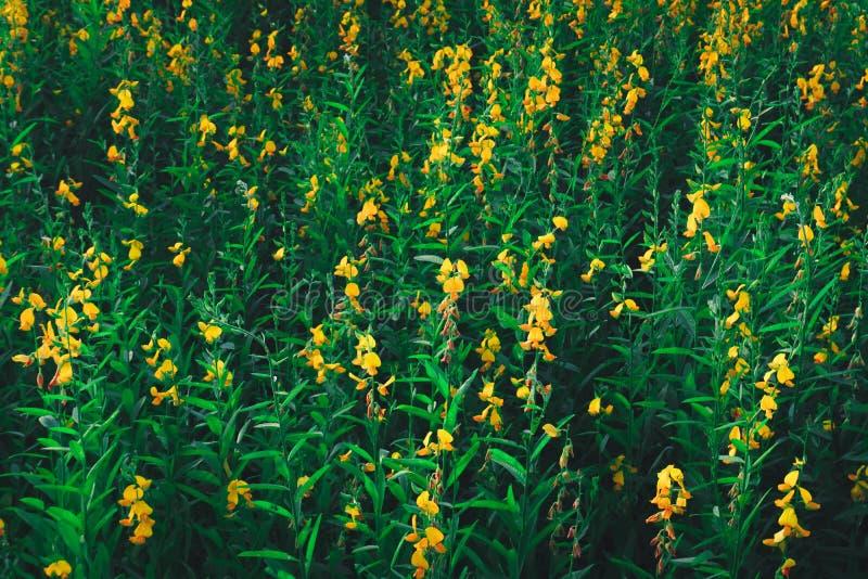La crotalaria amarilla con puesta del sol, las flores amarillas es prominente en la f fotos de archivo