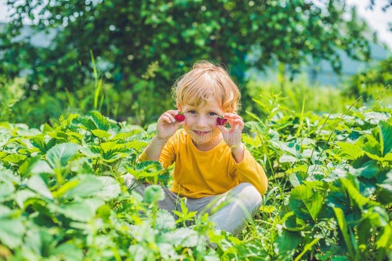 La cueillette caucasienne heureuse de petit garçon et les fraises de consommation sur soient images libres de droits
