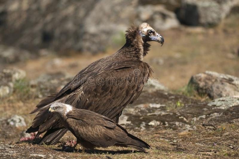 La cultura nera eurasiatica asiana Aegypius monachus e Red Kite, Milvus milvus fotografia stock libera da diritti