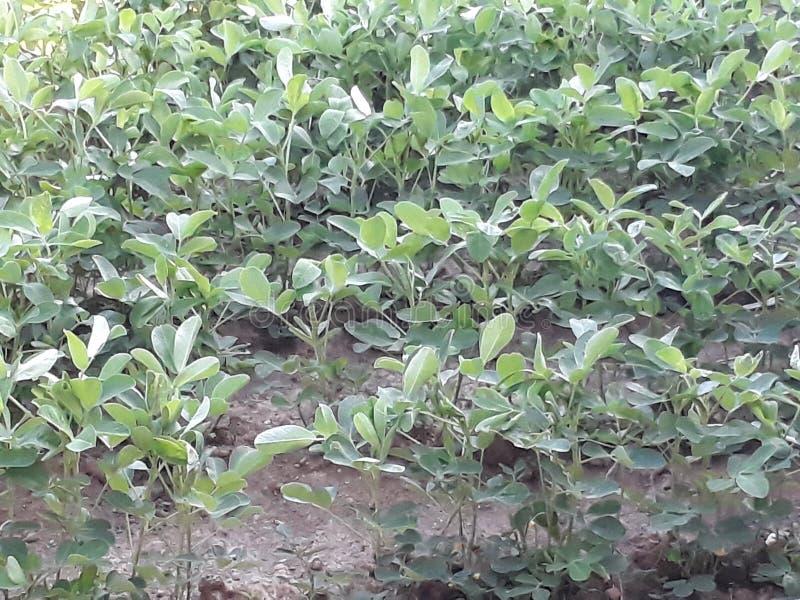 La culture verte d'arachides dans Bali photo stock
