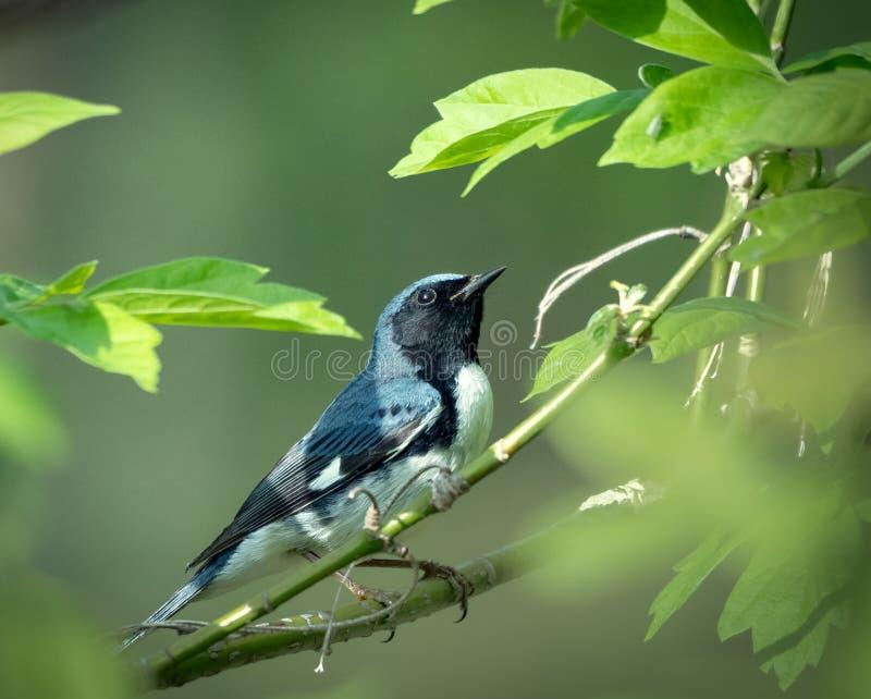 La curruca azul throated negra se sienta en una rama fotografía de archivo