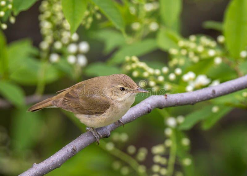 La curruca de lámina de Blyth del pájaro en una rama en fondo suave con las hojas y las flores fotografía de archivo