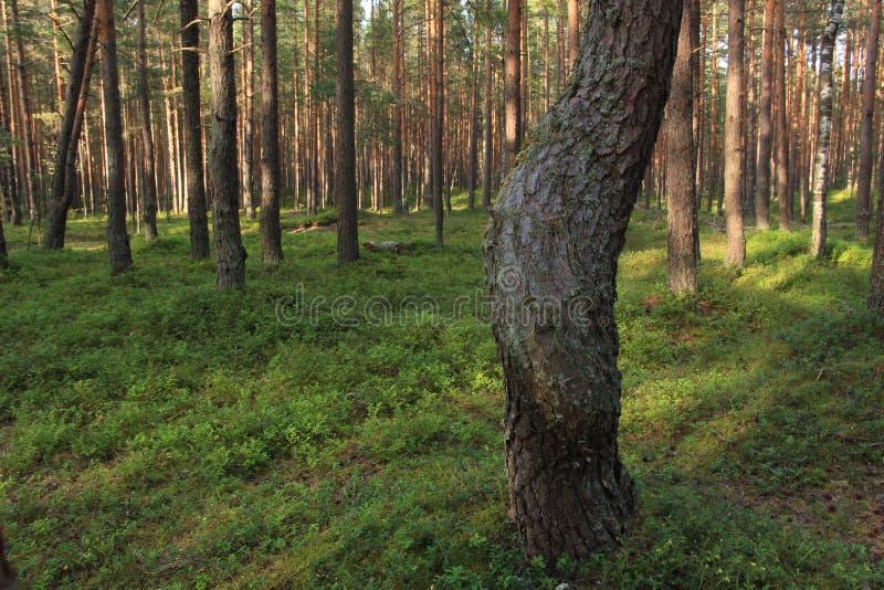 La curva de un tronco de árbol imagen de archivo
