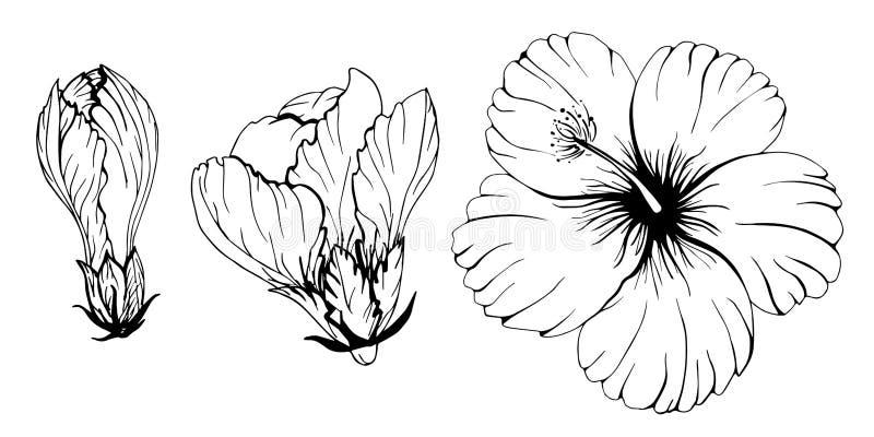 La découpe silhouette l'ensemble floral de ketmie photographie stock