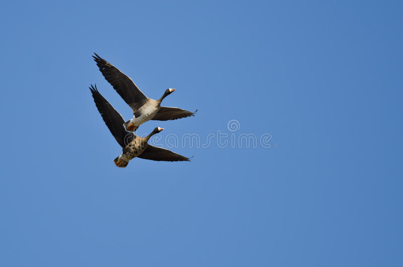 La démonstration du vol synchronisé par deux Blanc-a affronté des oies image stock