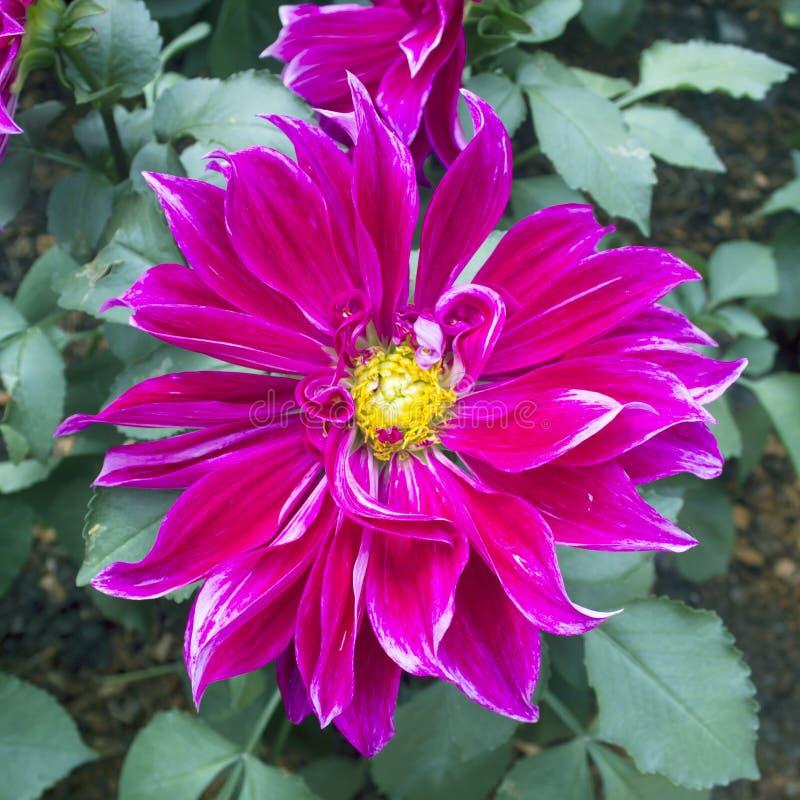 La dalia fiorisce come un fondo floreale o carte da parati immagine stock