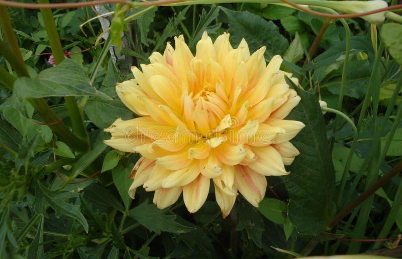 La dalia gialla è un fiore, famoso per bellezza dell'abbagliamento, eccita la passione e spinge sugli atti pazzi fotografia stock