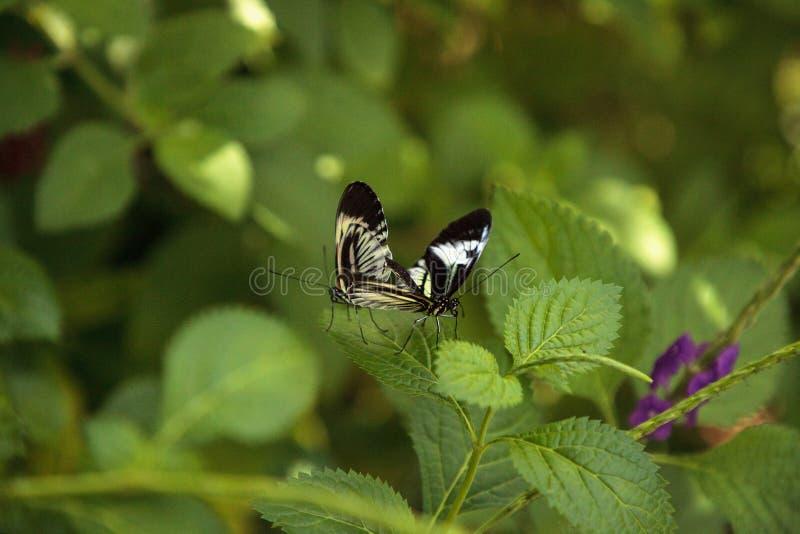 La danse de accouplement des plusieurs piano verrouillent le melpomene de Heliconius de papillon images libres de droits