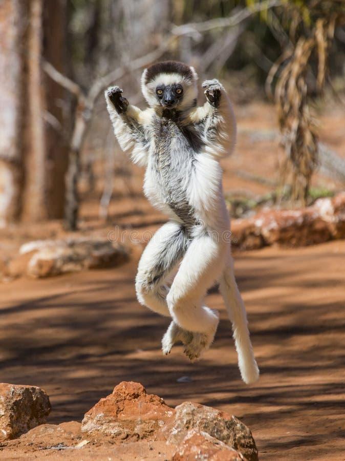 La danse Sifaka saute madagascar photographie stock