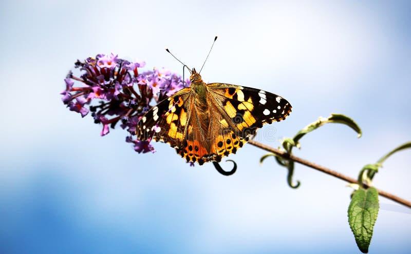 La diffusion ouverte de fleur pourpre de Moorpark la Californie de papillon de monarque s'envole images stock