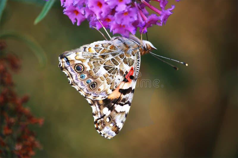 La diffusion ouverte de fleur pourpre de Moorpark la Californie de papillon de monarque s'envole photo stock