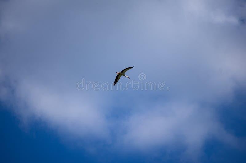 La diffusion volante simple de cigogne s'envole le ciel bleu avec les nuages blancs photographie stock