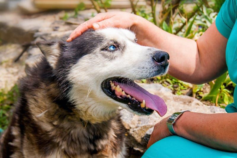 La donna accarezza il suo cane fedele della razza del husky Bree fedele del husky fotografie stock libere da diritti