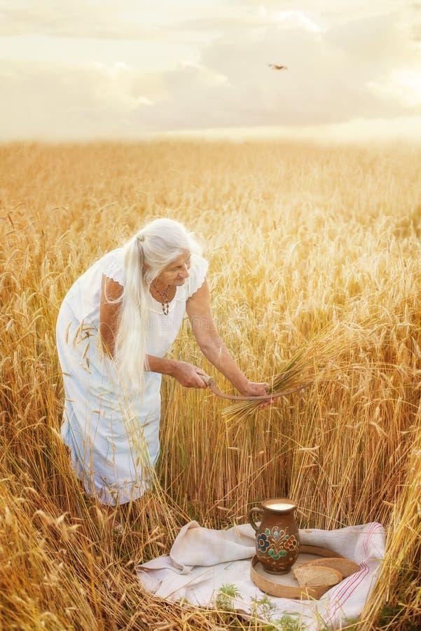 La donna anziana nel campo con grano raccoglie la falce Cereale d'annata che raccoglie processo Retro foto artistica immagini stock libere da diritti