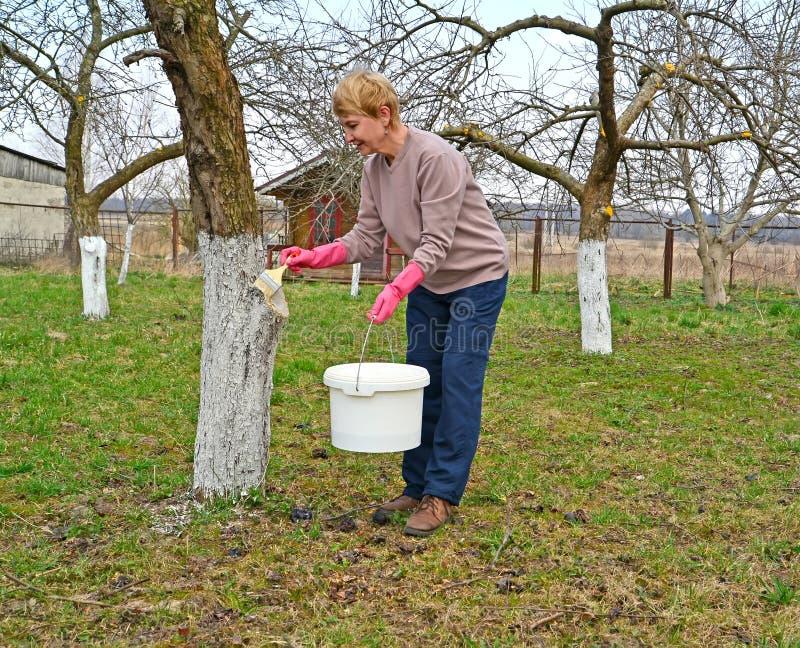 La donna candeggia un tronco dell'Apple-albero La primavera funziona in un giardino immagine stock libera da diritti