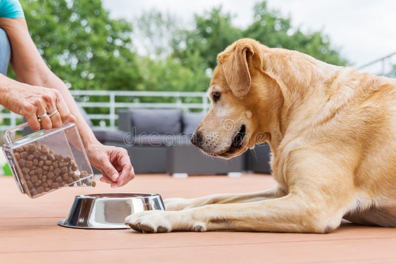 La donna dà al suo labrador il cibo per cani fotografie stock libere da diritti
