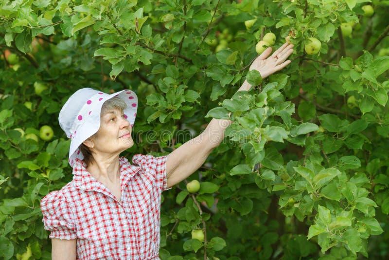 La donna del pensionato controlla le mele verdi sull'albero immagini stock libere da diritti