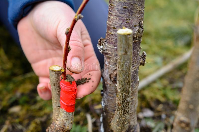 La donna di un giardiniere ostruisce una parte di taglio dell'albero innestato per evitare la decomposizione a questo posto in pr fotografie stock