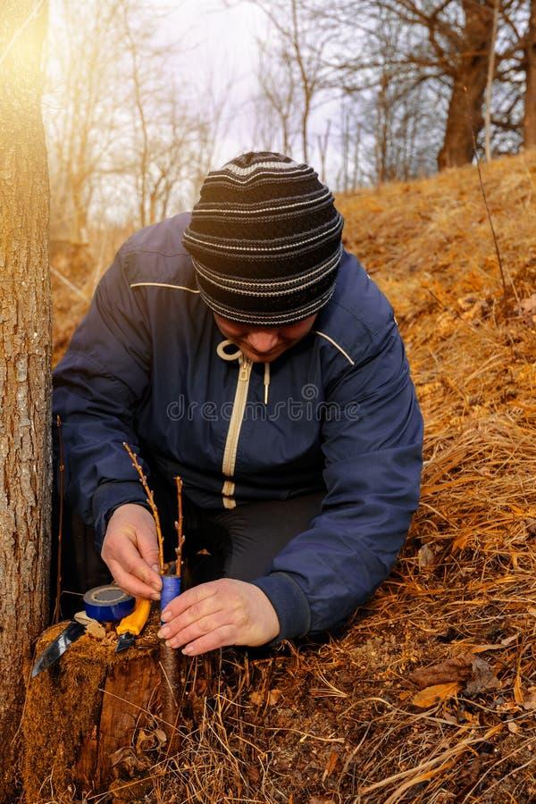 La donna di un giardiniere ostruisce una parte di taglio dell'albero innestato per evitare la decomposizione a questo posto in pr fotografia stock libera da diritti