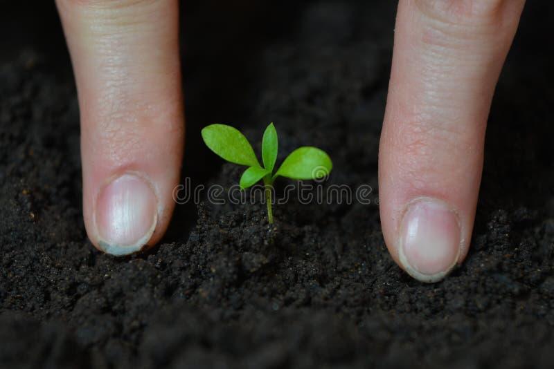 La donna passa la piantatura della piantina piccola in suolo nero Giorno di terra e concetto di ecologia immagini stock