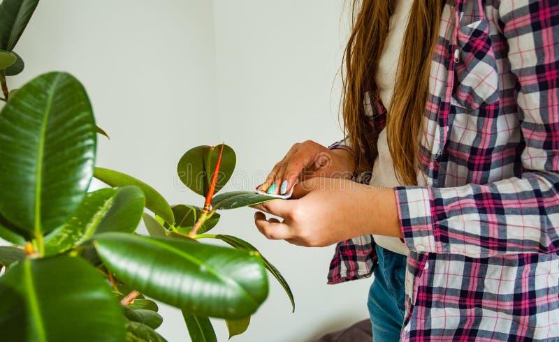 La donna passa la presa della cura delle piante a sua casa, pulente le foglie del ` s del fiore della polvere fotografia stock