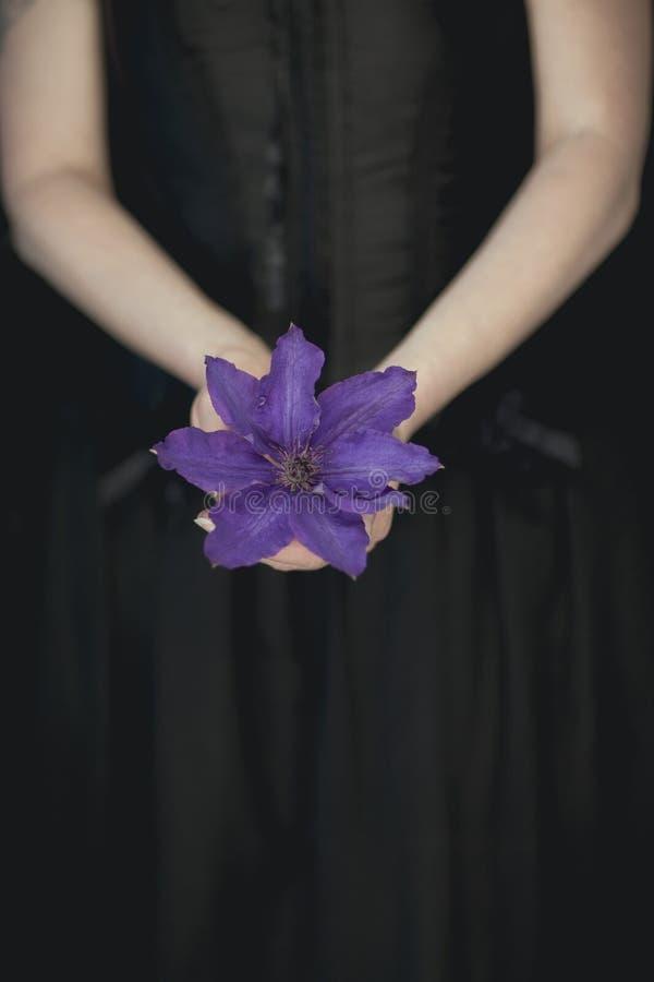 La donna passa la tenuta dei fiori viola freschi della clematide, colpo rurale sensuale atmosferico molto scuro dello studio fotografia stock libera da diritti