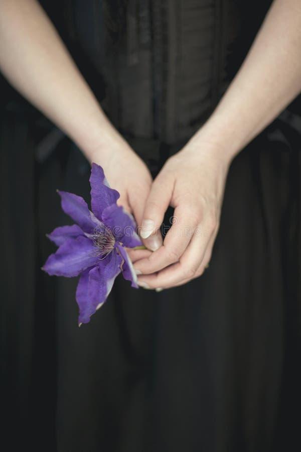 La donna passa la tenuta dei fiori viola freschi della clematide, colpo rurale sensuale atmosferico molto scuro dello studio fotografia stock