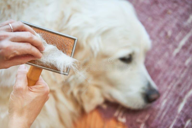 La donna pettina il vecchio cane di golden retriever con un pettine governare del metallo immagini stock