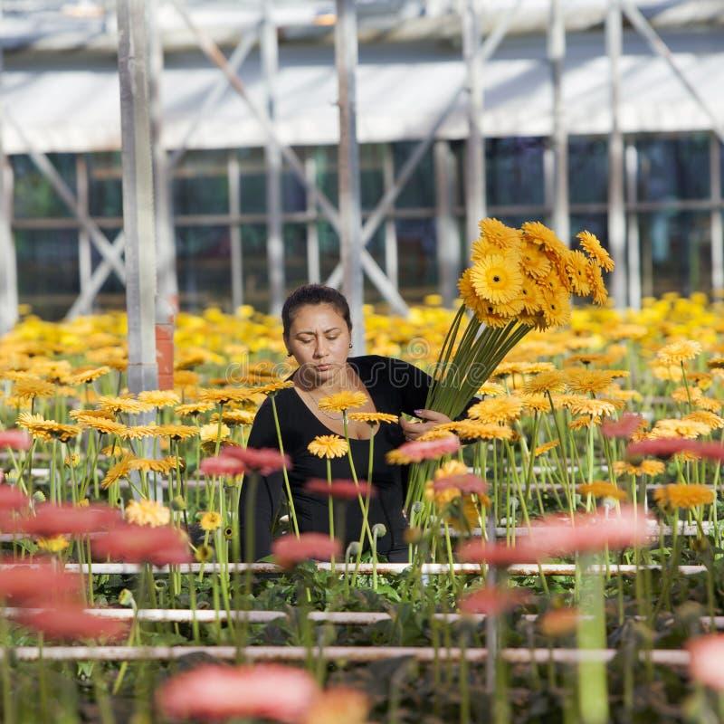 La donna seleziona i fiori in serra fotografia stock
