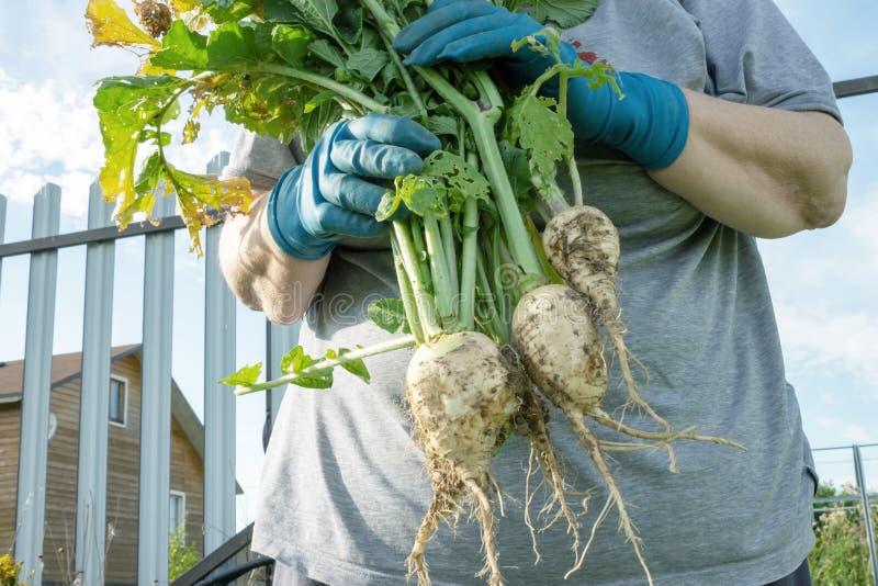 La donna senior che tiene di recente ha selezionato le verdure, raccolto fotografia stock libera da diritti