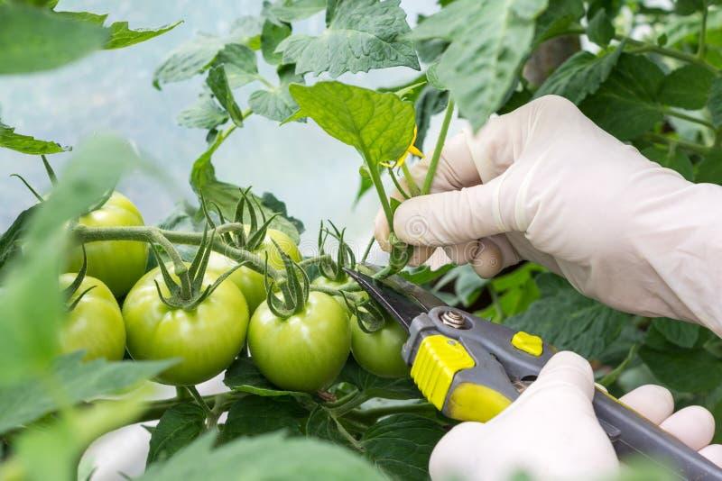 La donna sta potando i rami della pianta di pomodori nella serra immagine stock
