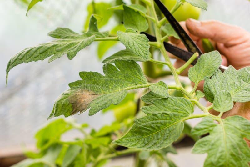 La donna taglia i rami della pianta di pomodori nella serra che sono infettati dalla peste immagine stock