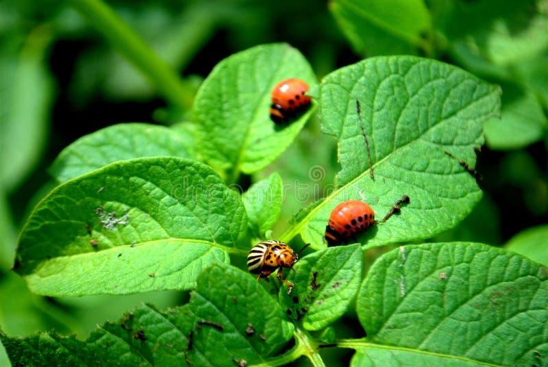 La dorifora della patata e le sue larve mangiano i rami verdi della patata fotografia stock libera da diritti
