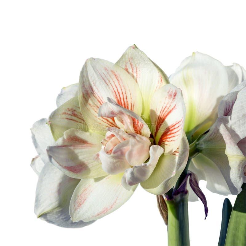 La double fleur de la nymphe d'amaryllis a isolé le whi haut et magnifique étroit photos libres de droits